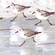 Snowy Plover Sandpipers On Siesta Key Beach, Wide-narrow Art Print