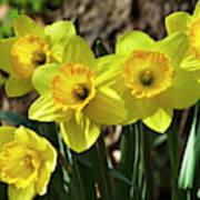 Spring Daffodils Art Print