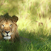 Staring Lion In Field Of Grass With Art Print