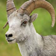 Stone's Sheep Ram Portrait Art Print