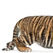 Sumatran Tiger Cub - Panthera Tigris Art Print