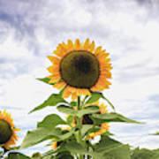 Sunflower Days Art Print
