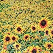 Sunflowers In Kansas Art Print