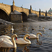 Swans And Charles Bridge Art Print