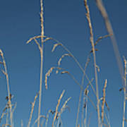 Tall Grasses Swaying Against A Blue Sky Art Print