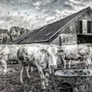 The Cows Came Home Black And White Art Print