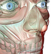 The Musculoskeleton Of The Face Art Print