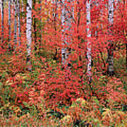 The Wasatch Mountain Forest Of Maple Art Print