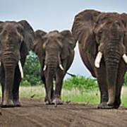 Three Big Elephants On A Dirt Road Art Print