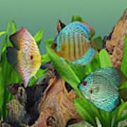 Three Discus Fish Art Print