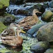Three Mallard Ducks Swimming In A Stone Filled Brook. Art Print