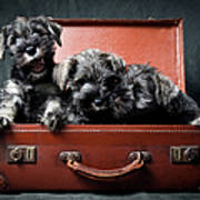 Three Miniature Schnauzer Puppies In Art Print