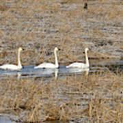 Three Trumpetor Swans 0629 Art Print