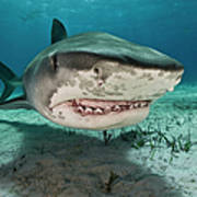 Tiger Sharks Galeocerdo Cuvier Are Art Print