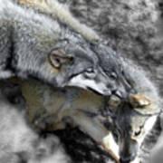 Timber Wolves Up Close Art Print