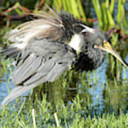 Tricolored Heron With Ruffled Feathers Art Print