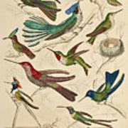 Trochilus - Hummingbirds Art Print