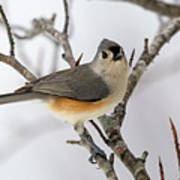 Tufted Titmouse Winter Tranquility Art Print