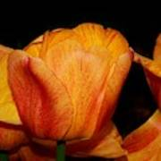 Tulips On A Black Background Art Print
