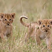Two Lion Panthera Leo Cubs Walking Art Print