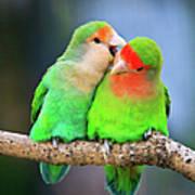 Two Peace-faced Lovebird Art Print