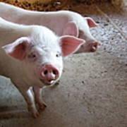Two Pigs Art Print