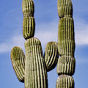 Upward View Of Saguaro Cactus And Blue Art Print