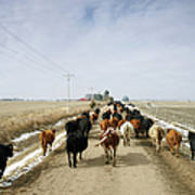 Usa, Nebraska, Great Plains, Herd Of Art Print