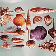 Various Sea Shells On Grey Background Art Print