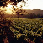 Vineyard, Napa Valley, California, Usa Art Print