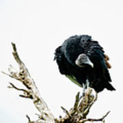 Vulture Perched On Tree Art Print