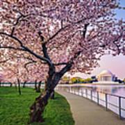 Washington Dc Cherry Trees, Footpath Art Print