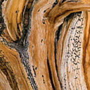 Weathered Wood Of Ancient Bristlecone Art Print
