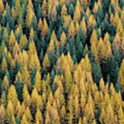 Western Larch Forest Art Print