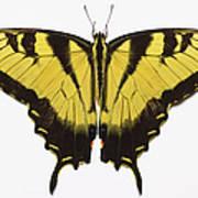 Western Tiger Swallowtail Butterfly Art Print