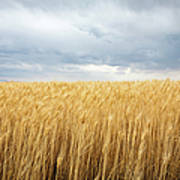 Wheat Field Under Dark Clouds Art Print