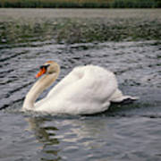 White Swan On Lake Art Print