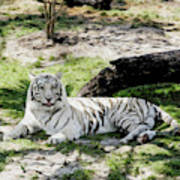 White Tiger At Rest Art Print
