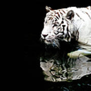White Tiger In Water By Carlina Teteris
