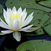 White Water Lilly Art Print