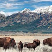 Wild Bison On The Open Range Art Print