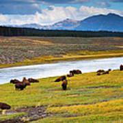 Wild Bison Roam Free Beneath Mountains Art Print