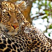 Wild Leopard Lying In Wait Atop A Tree Art Print