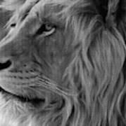 Wild Lion Face Art Print