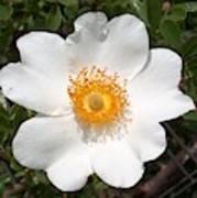Wild Texas Rose, White Art Print