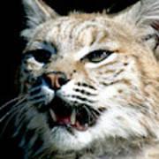 Wildcats Mascot 2 Art Print