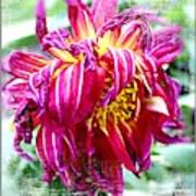 Wilted Dahlia. Art Print