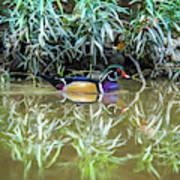 Wood Duck Reflection Art Print
