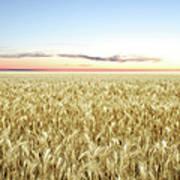 Xxl Wheat Field Twilight Art Print