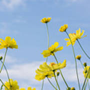 Yellow Cosmos Flowers With Light Blue Art Print